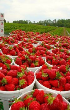 Giant Strawberry 1000 Pcs Seeds Organic fruit flores Non-GMO for Home Garden ( Buy 5 Packs,Get extra 2 For Free ) by HomeGardenBeauty on Etsy Strawberry Farm, Strawberry Picking, Strawberry Patch, Strawberry Fields, Fruit And Veg, Fruits And Vegetables, Fresh Fruit, Fruit Photography, Beautiful Fruits