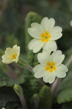 Primroses. These flowers will forever be associated with Canty Bay, just east of North Berwick, for me. The beach was beautiful but the banks of primroses in the spring made special.