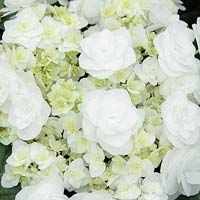 Wedding Gown Hydrangea  The white-flowering shrub Wedding Gown Hydrangea macrophylla, also known as 'Dancing Snow', was introduced in North America just a few years ago.