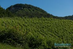 Wandervorschlag:  #Wandern im Ergolztal: Sissach – Sissacher Fluh – Ruine Bischofstein – Gelterkinden Vineyard, Mountains, Nature, Travel, Outdoor, Ruins, Hiking, Stones, Outdoors