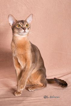 Blue Abyssinian Cat Like A Cat, I Love Cats, Cool Cats, Pretty Cats, Beautiful Cats, Kittens And Puppies, Cats And Kittens, Baby Animals, Cute Animals
