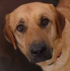 Valarie-089D12 is an adoptable Shepherd Dog in Harrison, MI. Valarie is a nice dog that was surrendered over to the shelter because her owner couldn't care for her any more. Valarie is 2 yrs old and s...