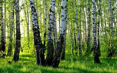 … energia brzozy … | Medycyna naturalna, nasze zdrowie, fizyczność i duchowość