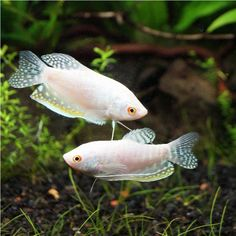 Tropical Freshwater Fish, Tropical Fish Aquarium, Freshwater Aquarium, Aquariums, Oscar Fish, Tetra Fish, Pigeon Breeds, Betta Fish Types, Cutest Animals