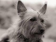 australian terrier - Google Search