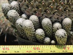pelecyphora strobiliformis - Google Search