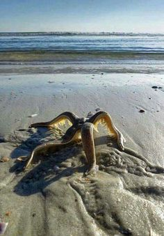 Starfish walking back to the water :o