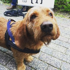 Bas the Basset in his Denim Dog Harness from Hoogvliet The Netherlands