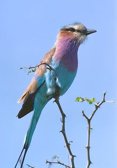 Lilac Breasted Roller  ♥ ♥ www.paintingyouwithwords.com