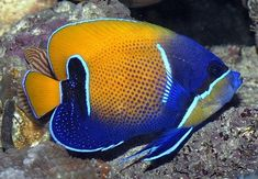 """The Majestic Angel aka Blue masked fish is considered """"unsafe"""" in some . Saltwater Fish Store, Saltwater Aquarium Fish, Freshwater Aquarium, Tropical Fish Store, Tropical Fish Tanks, Marine Aquarium, Marine Fish, Fish Breeding, Discus Fish"""