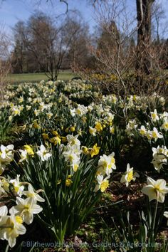 Daffodils along the shrub walk 4-21-14