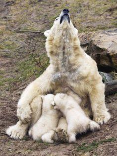 Polar mum and her babies.                                                                                                                                                      Mais