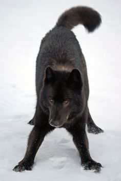 Adoro i lupi neri