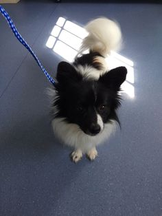 Torrington Animal Control added 2 new photos. Yesterday at 1:22pm ·  UPDATE: REUNITED WITH OWNERS Found in the area of French Street. A small black and white Papillon mix wearing a black collar with Rabies tag. Please call Torrington Animal Control with more information at 860-485-9165.