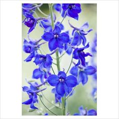 volkerfrieden delphinium  I love designing with these ..... ten stems in a tall vase anchored with woolly lambs ears or dusty miller