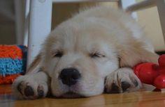 Maisy the Golden Retriever. Love a sleepy puppy :)