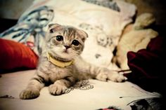 When I can get another cat..I want a Scottish Fold :) They are soo cute!