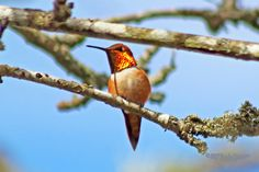 digitalmarbles posted a photo:  A shiny Rufous Hummingbird in a tree at the George C. Reifel Migratory Bird Sanctuary Delta BC Canada