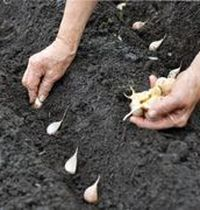 Посадка чеснока осенью под зиму. подготовка почвы, места, семян, предшественники