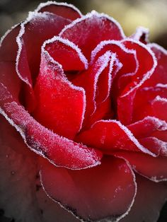 Jack's Kiss - A beautiful frost hits some of the remaining roses.