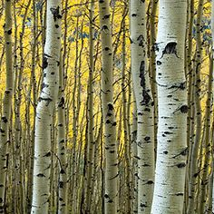 """I'd like to go by climbing birch trees."" - r. Frost"