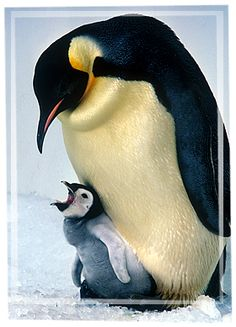 angry baby penguin