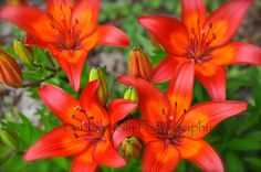 Lovely Tiger Lilies.