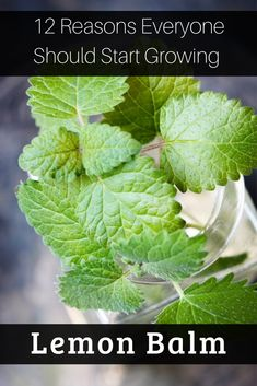 The list of reasons to love lemon balm is practically endless and you'll be happy to learn that growing and harvesting it is easy. Healing Herbs, Medicinal Plants, Growing Lemon Balm, Growing Ginger, Herbs For Sleep, Thyme Plant, How To Grow Lemon, Mint Plants, Mosquitos