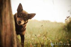 Peek-a-boo Australian Kelpie Australian Sheep Dogs, Australian Animals, Loyal Dogs, Herding Dogs, Horses And Dogs, Medium Sized Dogs, Mans Best Friend, Animal Photography, Animals Beautiful
