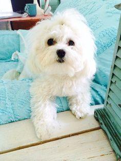 We love our Maltese Bella