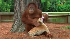 The Ugly Truth Behind This 'Cute' Video Of Orangutan With Tiger Cubs
