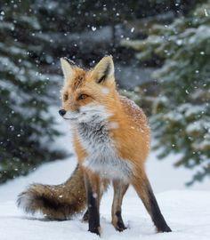 beautiful-wildlife:  A Fox in SnowbyDaniel Parent