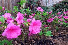 Replaced my North Texas dirt with azalea friendly dirt and finally... Success!