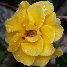 Una rosa amarilla en mi jardín