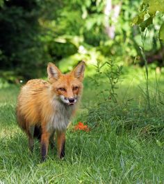 Red fox in the Smoky Mountains