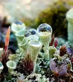 "Pixie Cup Live Lichen Moss ""Cladonia Pyxidata"" for Terrariums, Dish and Fairy Gardens, Bonsai. Weird Plants, Mushroom Fungi, Green Nature, Plant Needs, Petunias, Fruit Trees, Love Photography, Amazing Nature, Organic Gardening"