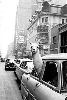 "Llama in the city. Why not? Bet he wishes he called ""shotgun!"""
