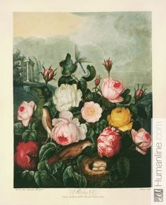 Humanline - an image library of arts, history and science free for educational use (Roses, plate from The temple of Flora).