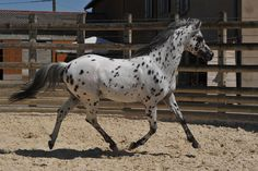 bay leopard - 75% Arabian, 25% Appaloosa stallion Spot On SA