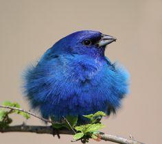 #Blue , #bird , #pássaro ,