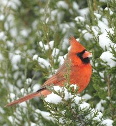 IL state bird- the Northern Cardinal in a cedar tree during a snow storm in Grayslake.  Photo by Laura Hedien