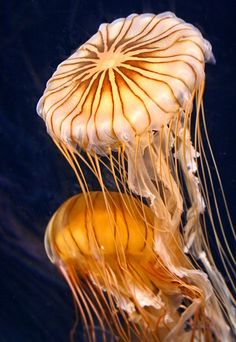 ✯ Astonishing Beauty of Jellyfish! The Lady Gaga of the underwater world. Under The Water, Life Under The Sea, Under The Ocean, Sea And Ocean, Underwater Creatures, Underwater Life, Ocean Creatures, Vida Animal, Beneath The Sea