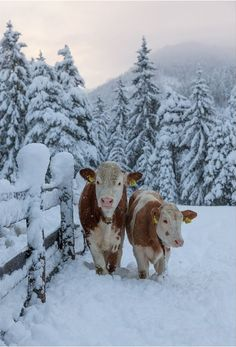 Snow and Cows; Love and miss you, Mom Raising cattle in the Alps, Italy - Milky way II by Sergey Ershov, via Farm Animals, Animals And Pets, Cute Animals, Animals In Snow, Snow Scenes, Winter Scenes, Beautiful Creatures, Animals Beautiful, Raising Cattle