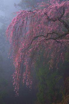 """90377: """"  桜雨 by Tomohiro Moteki """""""