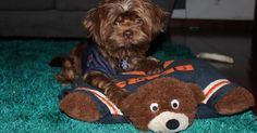 This cute puppy Chaos is a Bears fan just like his Dad! Little Puppies, Cute Puppies, Pet Health, Shih Tzu, Bears, Teddy Bear, Fan, Animals, Doggies