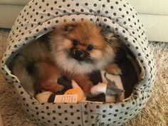 Pomeranian puppy new bed