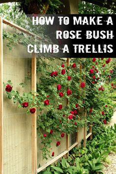 climbing roses on trellis