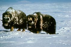 pictures of the arctic tundra | Arctic Tundra: Musk Oxen