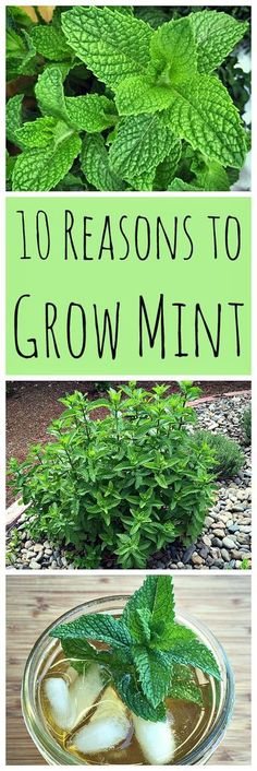 Don't be afraid to grow mint! It has so many wonderful uses and can be grown without fear of taking over your garden.