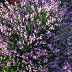 Beautiful lavender in our yard